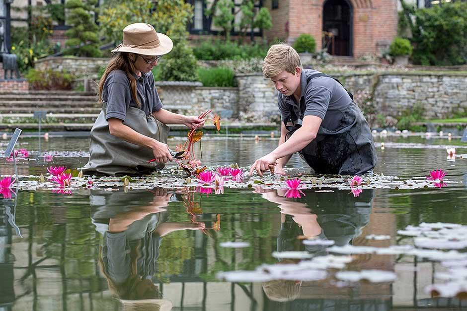 deadheading waterlilies at Wisley