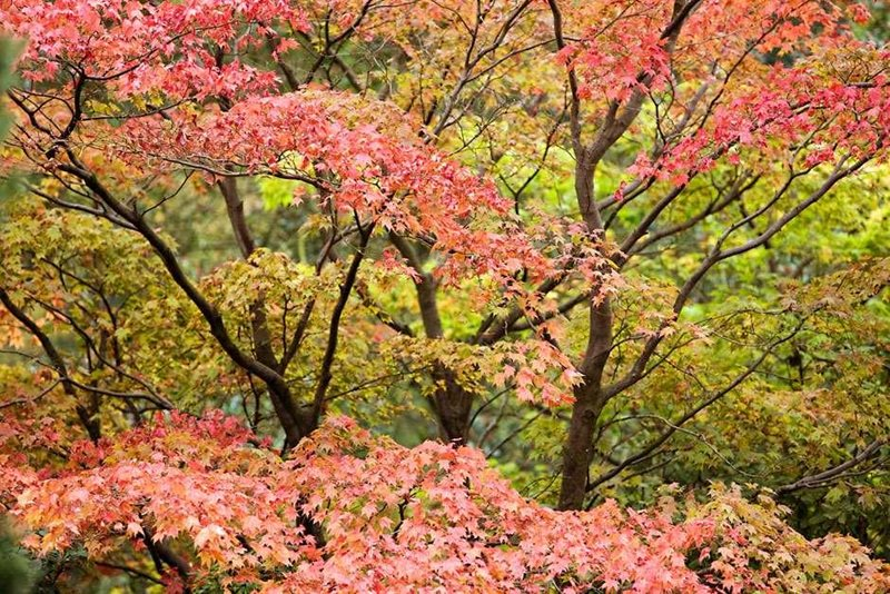 Maples are just taking on autumn colour now at Harlow Carr