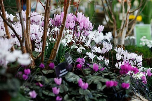 Snowdrop and cyclamen display