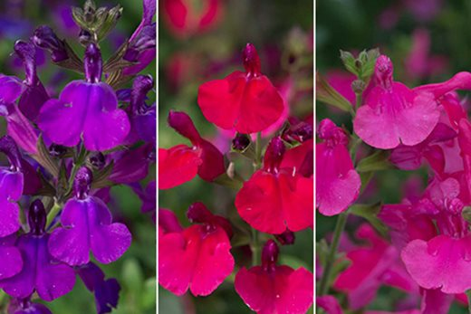 Salvia Mirage collection