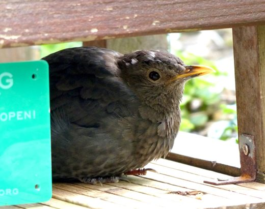 The female blackbird roosts in the hedgehog box
