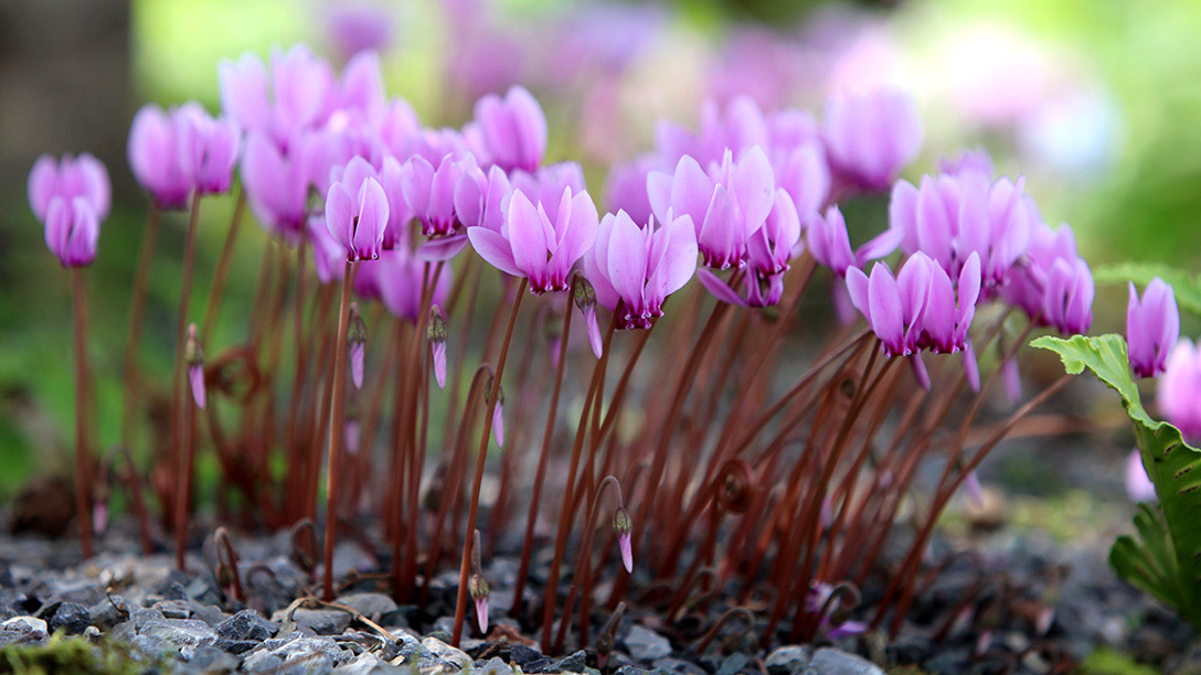RHS cyclamen collection