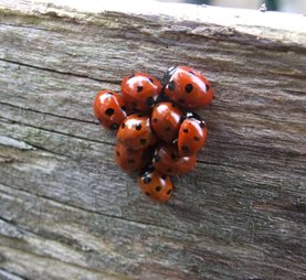 Ladybirds clustering for winter