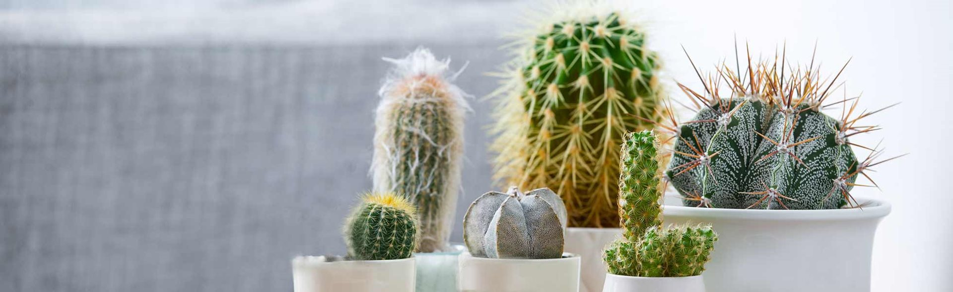 Cacti and succulents in white pots