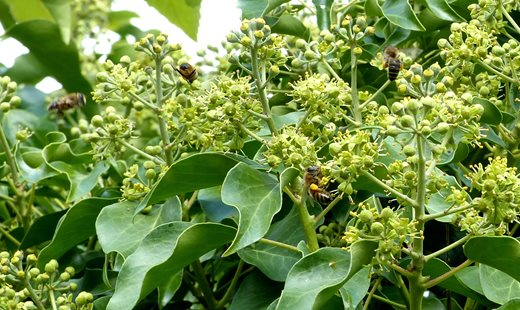 Ivy blossom is an important food source for pollinators