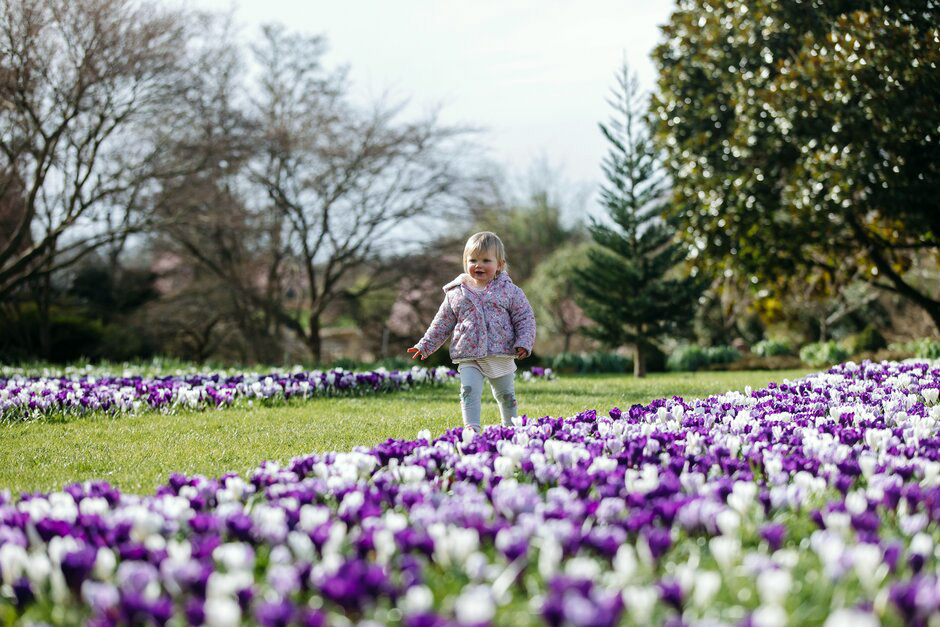 A child walks past crocuses on the Crocus Lawn at RHS Garden Wisley