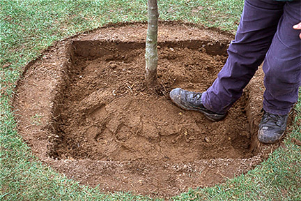 Planting a tree in winter.
