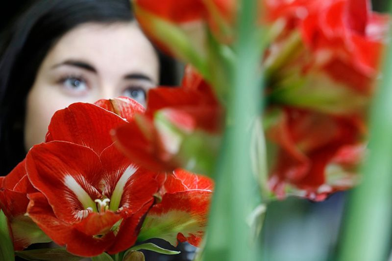 a visitor looks at a hippeastrum display